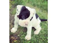 English bulldog | Dogs & Puppies for Sale - Gumtree
