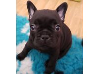 French Bulldog Puppies for Sale KC Registered
