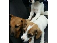 purebred jack Russel puppys
