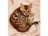 Kittens in Devon   Cats & Kittens for Sale - Gumtree