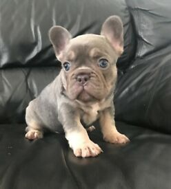Lilac and tan testable frenchie boy