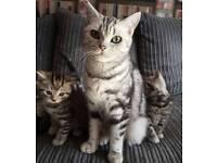 X British shorthaired kittens