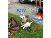 Puppy ONLY 1 BOY REMAINING, MALTESE X SHIH-TZU