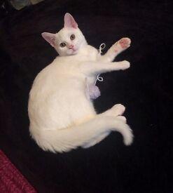 White male cat