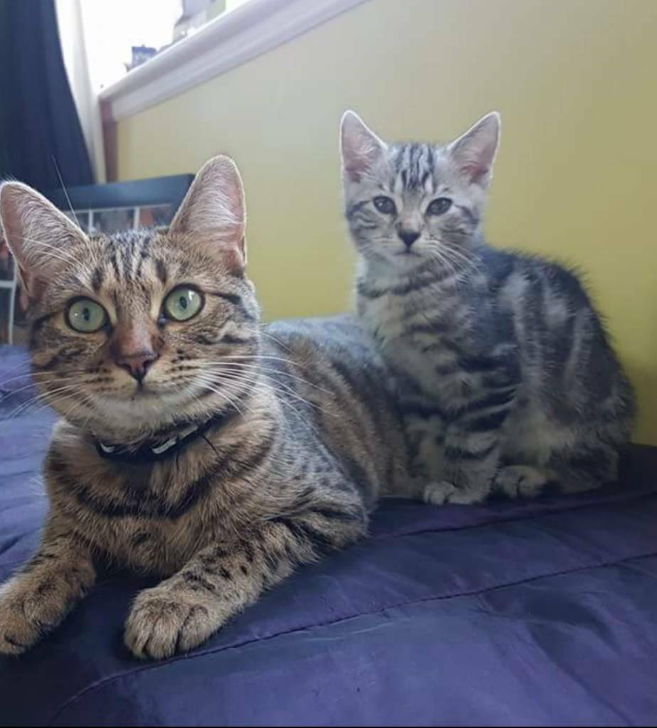 Bengal cross cats | in Edinburgh | Gumtree