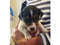 Gorgeous jack russel puppy's looking for loving homes