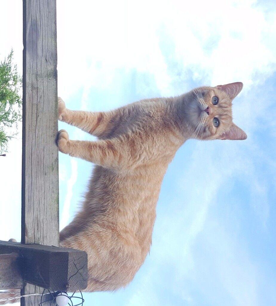 Missing Ginger Female Cat - Reward Offered