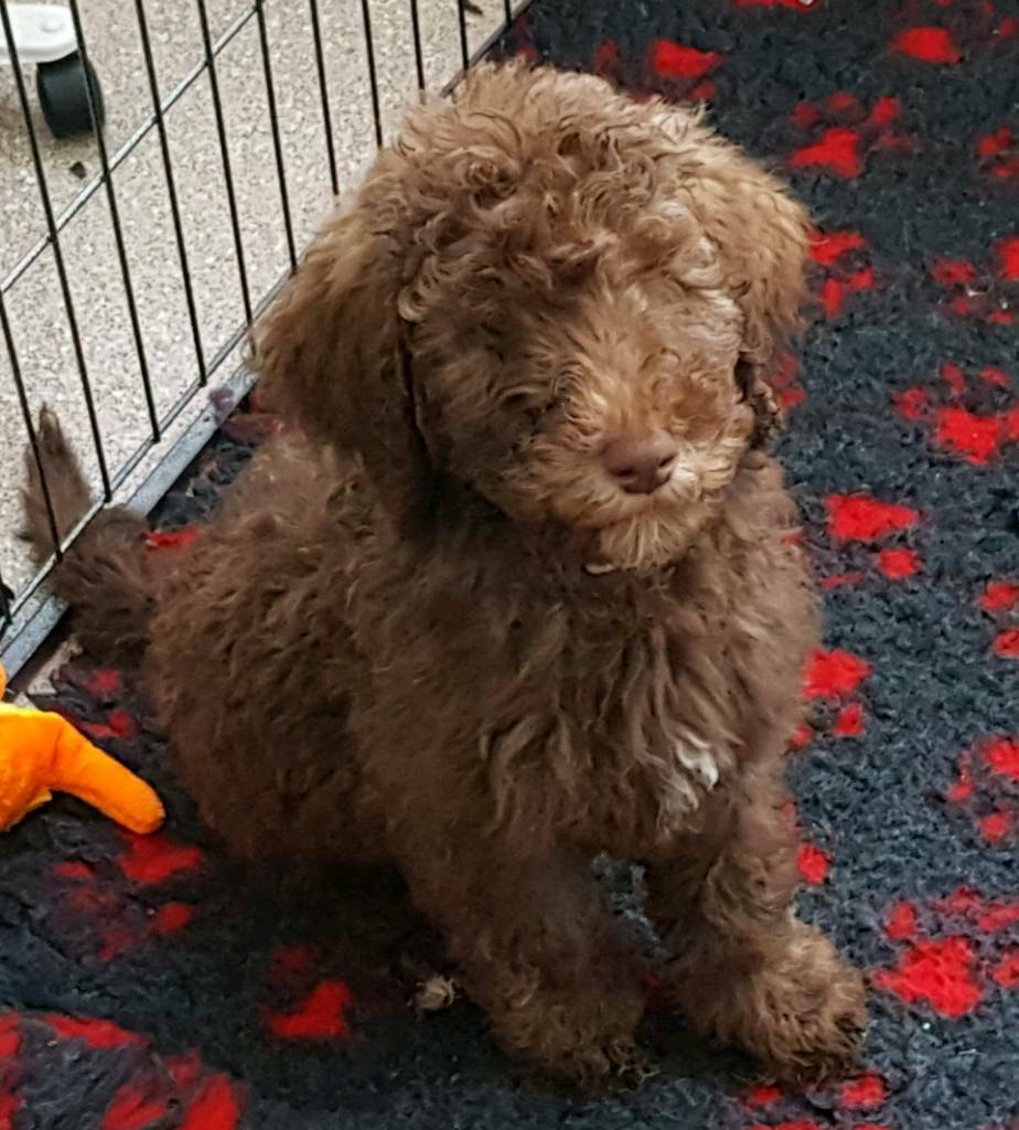 Standard poodle puppies raised at home with mum | in Rochester, Kent |  Gumtree