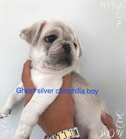 STUNNING KC chinchilla Pug pups, ready 1st August.