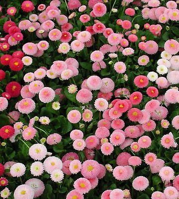- Dwarf English Daisy Seed, Farm Mix, Heirloom Flower Seed, Non-Gmo Perennial 50ct