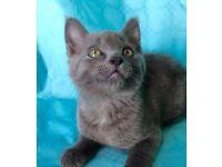 Russian blue grey kitten 10 week old