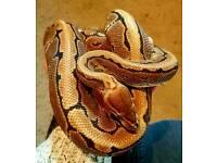Royal python pinstripe morph