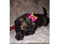 Shih-Tzu Puppy Edinburgh