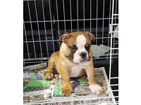 British bulldog puppies