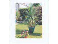 Cordyline Australis (Hardy Palm)