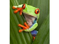 *LOOKING* for red eyed tree frogs and dart frogs