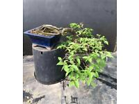 Quality Very Old Hornbeam Semi Cascade Bonsai
