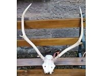 SCOTTISH RED DEER SCULL AND ANTLERS