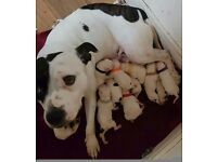 3 female and 1 boy Staffordshire bull terrier puppies.