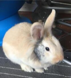 Stunning lion haired female rabbit no timewasters please