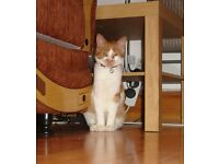 Simba Ginger and white Male kitten 5 months fully vaccinated with extras Sparkbrook