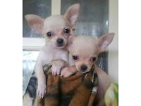 Smoothcoat gorgeous cream Chihuahua puppies