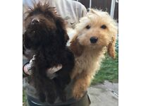 2 beautiful F1 cockerpoo boys ready for new home!