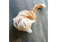 BEAUTIFUL~ 1 YEAR OLD KITTENS.~ GINGER BOY ~ BLACK GIRL. SIBLINGS. NEUTERED