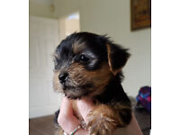 Yo-Yo yorkiepoo puppies