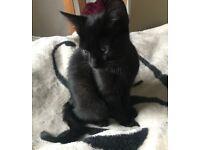 Black female kitten