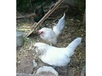 Pair of Barbu D'Anver Bantams BS10 chickens rare breed