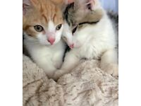 Beautiful Maine Coon cross n ginger kittens ready today