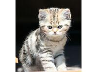 Exotic golden tabby female kitten