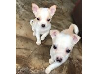2 male chihuahua x jug pups
