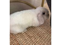 Rabbit (Mini Lion Lop) lady with a big cage