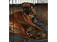 Champion breed red female Boxer dogs for sale.