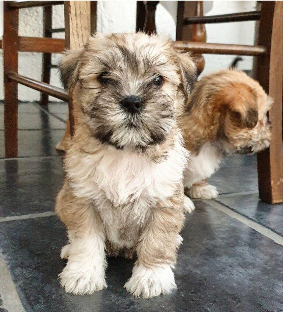 Miniature Schnauzer Cross Shih Tzu Puppies In Scone Perth And Kinross Gumtree