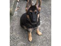 Beautiful kc registered German Shepard bitch pup for sale