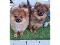 Pomeranian Boys available