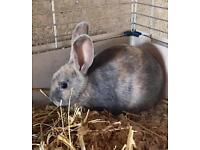 Baby female rabbit for sale