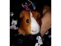 Guinea Pig Male Red and White