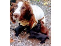 Springer spaniel X dachshund puppies