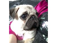Female Pug Puppy 8 Months, Spayed, Vaccinated, Microchipped, wormed/flead!