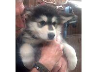 Malamute cross German Shepherd Puppies Ready Now