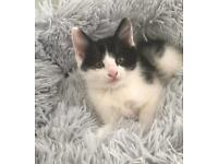 Fluffy kittens black and white £350 +gift for kitten