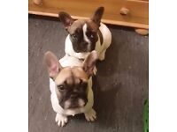 female french bulldogs for sale