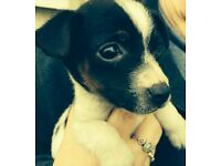 Beautiful Female Jack Russell