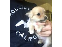 Chihuaha puppy