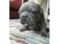 Blue KC Reg French Bulldog Puppies