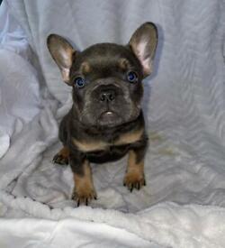 QUAILTY 5* French Bulldog Kc registered new shade lilac chocolate puppies testable Isabella